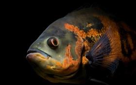 Обои рыба, башка, плавник