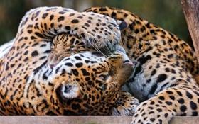 Обои игра, хищники, ягуары