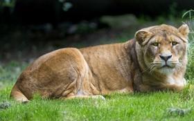 Обои кошка, трава, взгляд, львица, ©Tambako The Jaguar