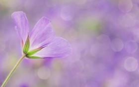 Обои цветок, сиреневый, макро, боке