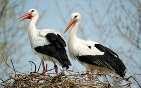 Картинка птицы, природа, аисты