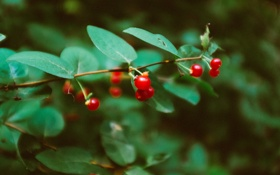 Обои листья, ягоды, веточка, ветка, красные