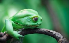 Картинка лягушка, ветка, земноводное, Чакская филломедуза, waxy monkey, leaf frog