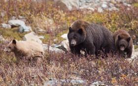 Картинка медведи, медвежата, медведица, семейка