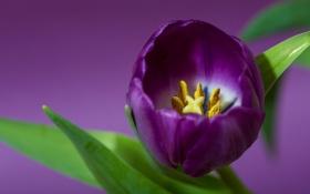 Обои фиолетовый, тюльпан, лепестки, лиловый
