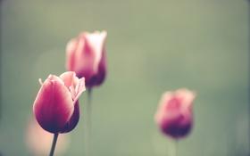 Картинка лето, цветы, природа, тюльпаны