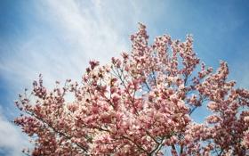 Обои цветы, дерево, магнолия, тюльпановое дерево