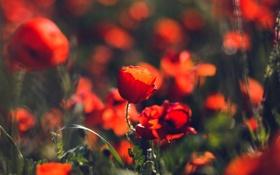 Картинка красные, маки, много, цветы