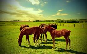 Обои поле, животные, кони, пастбище, жеребята