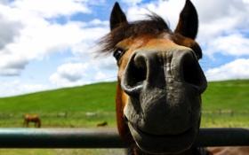 Обои фон, морда, конь