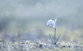 Картинка макро, цветы, весна, подснежник