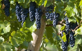 Картинка листья, виноград, грозди