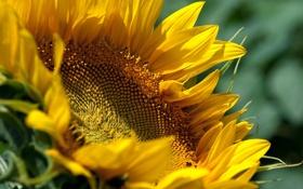 Обои цветок, соняшник, жёлтый, подсолнух