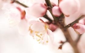 Обои цветок, макро, веточка, розовый, весна, бутоны, слива