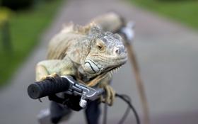 Обои iguana, фон, велосипед