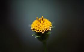 Обои цветок, макро, бутон, желтое