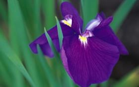 Обои цветок, фиолетовый, макро, растение, ирис