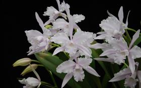 Картинка белые, орхидеи, экзотика