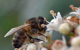 Картинка макро, цветы, природа, пчела, насекомое