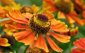 Картинка оранжевый, цветы, фон, макро, цветок