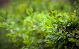 Обои макро, Трава, кустарник, зеленый., MVS