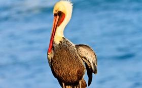 Обои птица, перья, клюв, пеликан