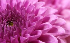 Обои цветок, макро, розовый