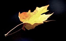 Обои лист, фон, чёрный, одинокий