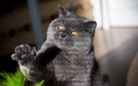 Картинка кот, взгляд, кошак, котяра, лапка