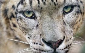 Картинка кошка, взгляд, морда, ирбис, снежный барс, ©Tambako The Jaguar