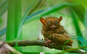 Картинка глаза, листья, ветка, примат, долгопят
