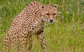 Обои трава, цветы, хищник, гепард, дикая кошка