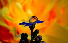 Обои капли, макро, цветы, синий, бутон, огненный