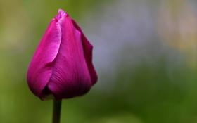 Обои цветок, тюльпан, весна