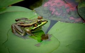 Картинка глаза, лист, лягушка, земноводное