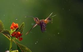 Картинка капли, дождь, Колибри, Long-billed Hermit, птица, боке, цветы