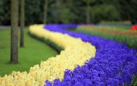 Обои парк цветов Кекенхоф, гиацинт, цветы