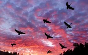 Обои облака, Лебеди, зарево