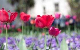 Картинка цветы, красный, фон, розовый, обои, поляна, цветочки