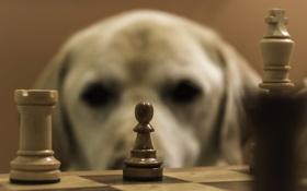 Картинка друг, собака, шахматы