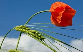 Обои цветок, макро, колос, мак, рожь, капли воды