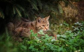 Обои лес, дикая кошка, трава