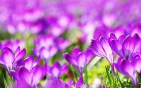 Обои цветы, весна, размытость, крокусы, сиреневые
