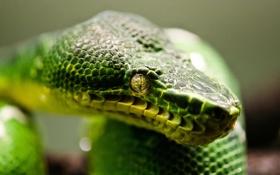Обои green, snake, animal