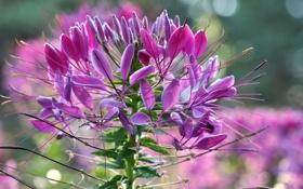 Обои цветок, природа, растение, соцветие
