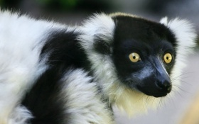 Обои взгляд, морда, лемур, lemur