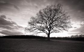 Обои поле, дерево, Ч/б