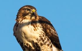 Картинка рендеринг, птица, перья, клюв, ястреб