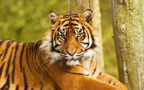 Обои морда, тигр, лежит, недовольный