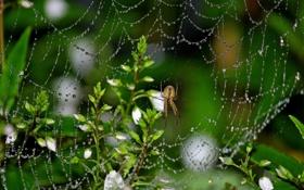 Картинка паук, капли, роса, паутина, макро, цветы